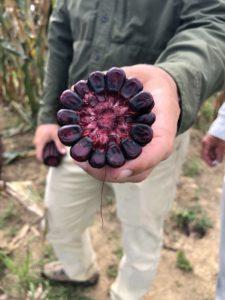 farmer showing cross section of amaize red purple corn