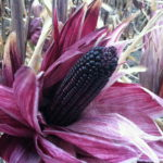Purple Corn ready to be harvested