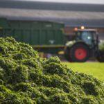 Cut grass for chlorophyll chlorophyllin production