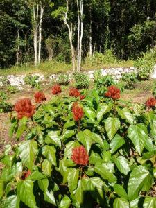annatto bixin and norbixin come from the bixa orellana shrub